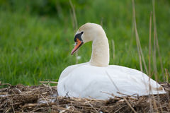 White mute swan on nest Royalty Free Stock Photo