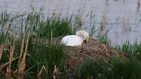 Mute swan on nest. White mute swan on nest on side of lake stock video