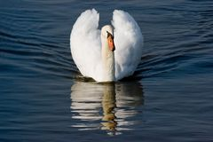 White mute Swan with set up feathers Stock Image