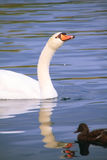 White mute swan swimming on Banyoles lake Stock Photos