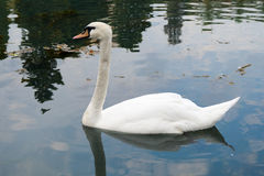 White mute swan is swimming on the Lake Stock Photography