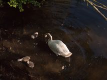White mute swan with three grey cygnets down below water surface. Spring; essex; england; uk royalty free stock photography
