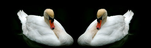 White mute swans background Stock Photography
