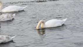 White mute swans (Cygnus olor) stock video footage