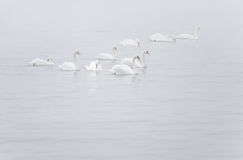 White Mute Swans in the myst. White Mute Swans or Cygnus olor  in myst on the river Royalty Free Stock Photos