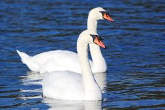 White Mute Swans Royalty Free Stock Images