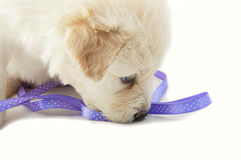 White muzzle puppy  dog closeup Stock Photo
