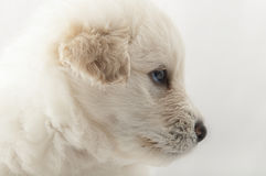 White muzzle puppy  dog closeup Royalty Free Stock Images