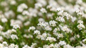 White Myosotis alpestris Forget-Me-Not Flowers In Spring garden royalty free stock photos