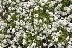 White myosotis spring background Stock Photo