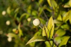 White myrtus berry Royalty Free Stock Photos