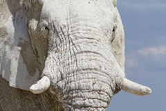 White namibia elephant Royalty Free Stock Photography