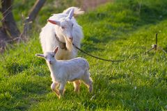 White nanny goat and baby in a meadow with fresh young juicy grass, late sunny spring evening. White nanny goat and baby enjoy fresh young juicy grass in a stock image