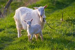 White nanny goat and kid in a meadow with fresh young juicy grass, late sunny spring evening. White nanny goat and kid direct stare in a meadow with fresh young royalty free stock image
