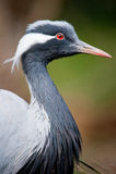 White-naped crane Royalty Free Stock Photo