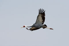 White-Naped Crane. Single Adult White-Naped Crane in Flight Royalty Free Stock Images