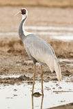 White-Naped Crane. Single Adult White-Naped Crane Standing in Flooded Field Royalty Free Stock Photos