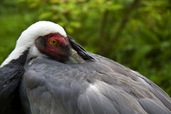 White Naped Crane Stock Photo
