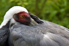 White - Naped Crane Stock Photos
