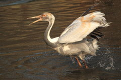 White naped crane. The white-naped crane juvenile in water Royalty Free Stock Photography