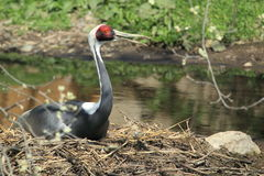 White-naped crane Royalty Free Stock Photo