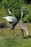 White-naped crane. The couple of uttering white naped cranes Stock Photo