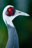 White-naped crane. Portrait of a white-naped crane (lat. Grus vipio)  on green background Stock Images