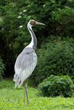 White-naped Crane bird Stock Photos