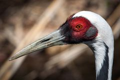 White-naped Crane Stock Image