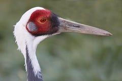 White-naped Crane Bird Royalty Free Stock Photography
