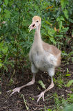White-naped Crane - fledgeling Stock Image