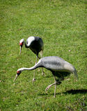 White-naped Crane (Grus vipio) Royalty Free Stock Image