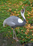 The white-naped  crane (Grus vipio Pallas) costs with the head r. Aised up. Rare bird Stock Image