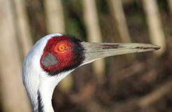 White Naped Crane head royalty free stock photo