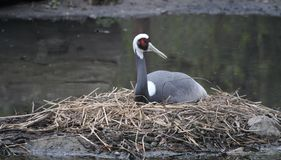 White naped crane Royalty Free Stock Photography