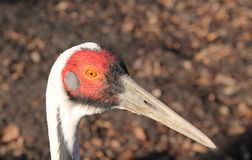 White-naped crane Royalty Free Stock Images