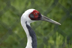 White Naped Crane Profile. Profile of White Naped Crane at International Crane Foundation in Baraboo, Wisconsin stock photos