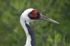 White Naped Crane Profile Stock Photos