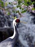 White-naped Crane Royalty Free Stock Images