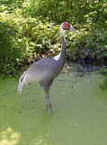 White-naped Cranes native to Asia Royalty Free Stock Photography