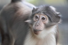 White-naped mangabey. The detail of white-naped mangabey royalty free stock images