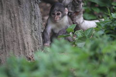 White-naped mangabey. The juvenile of white-naped mangabey stock photos