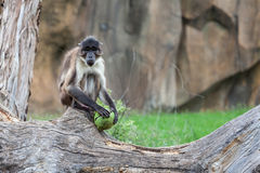 White naped Mangabey (Landscape) Stock Photos