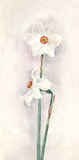 White Narcissi watercolor painting Royalty Free Stock Photos
