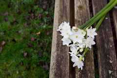 White narcissi on a weathered wooden garden bench. Copy space on grass below Stock Photography