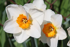 White narcissus Royalty Free Stock Photos