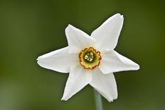 White Narcissus. On the dark background Stock Photos