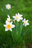 White narcissus. On grass in a garden Stock Photo