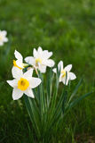 White narcissus. On grass in a garden Royalty Free Stock Photography