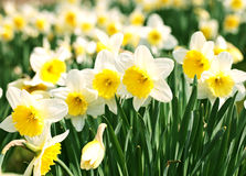 White narcissus Stock Image
